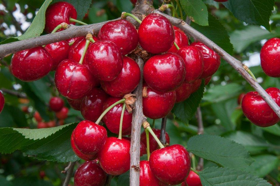 cherry (sweet) 'Penny'