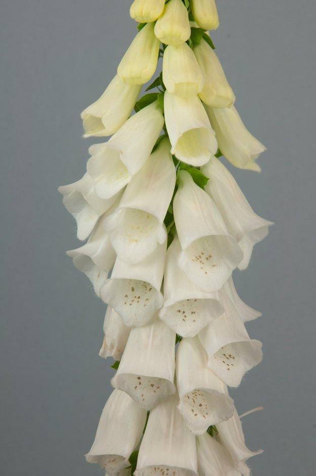 Digitalis purpurea f. albiflora