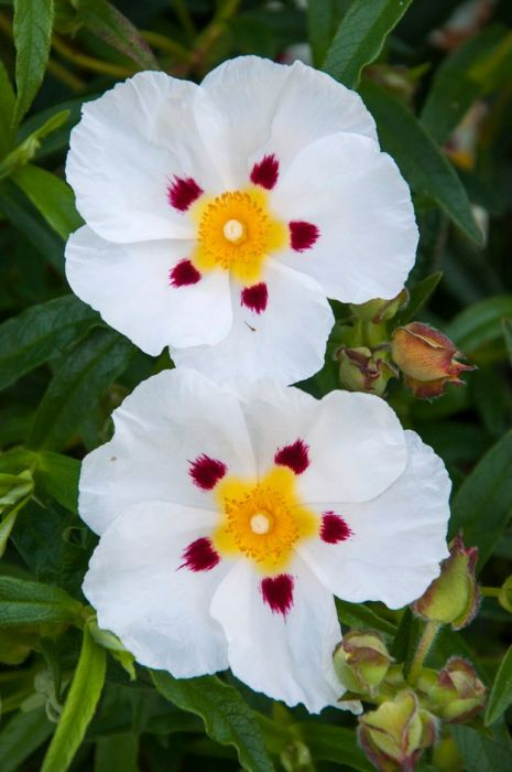 rock rose 'Jenkyn Place'