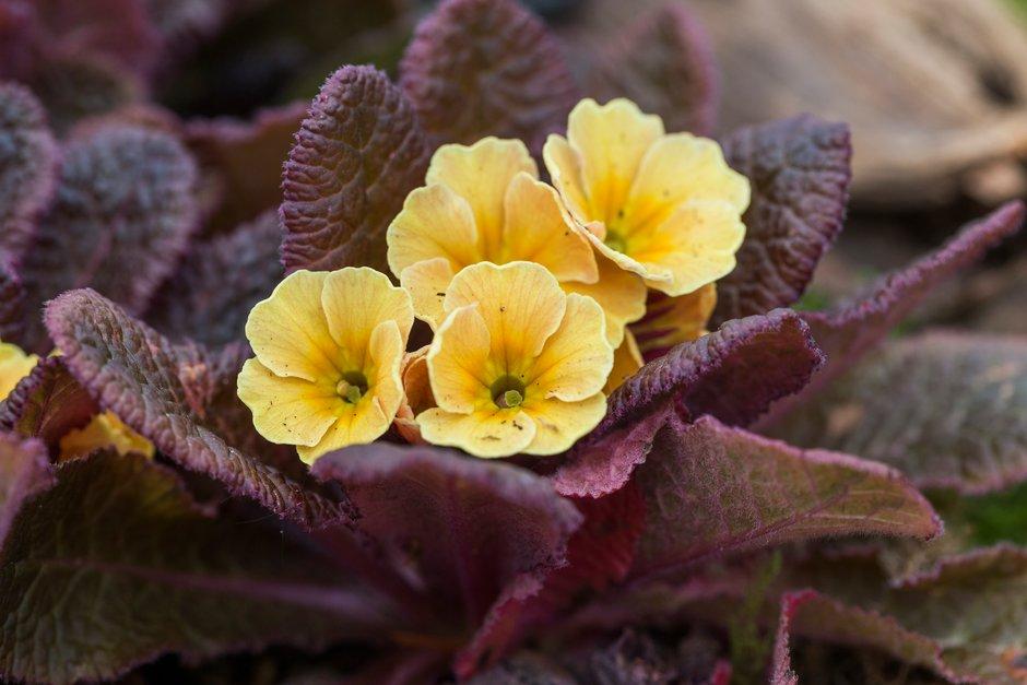 primrose 'Claddagh'