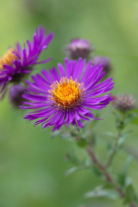 New England aster 'Violetta'