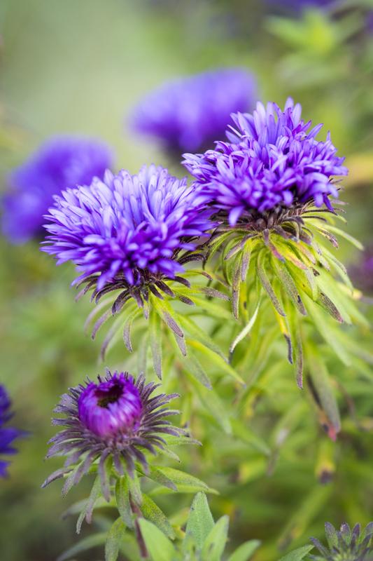Michaelmas daisy 'Purple Dome'