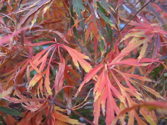 Japanese maple 'Ornatum'