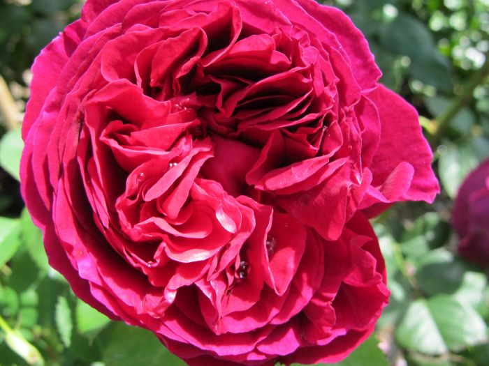 rose [Falstaff]