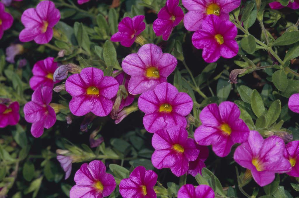 calibrachoa [Superbells Pink]